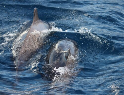 Cetacean in Lanzarote