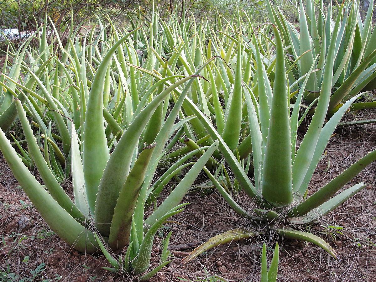 Image Plante Aloe Vera aloe vera in lanzarote - lastminute transfer